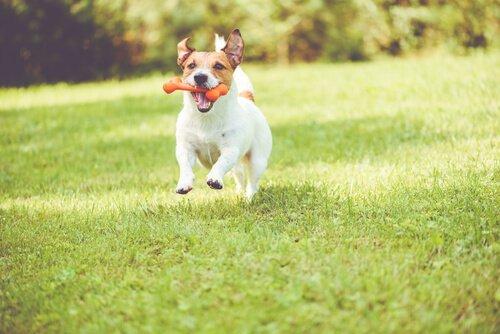 Cachorro correndo com osso de brinquedo