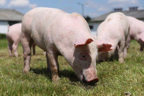 Porcos comendo grama