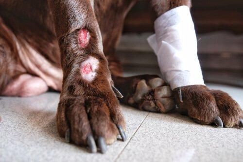 causas da dermatite acral em cães