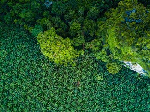 árvore de óleo de palma