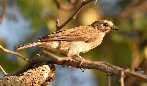 conheça os pássaros indicadores