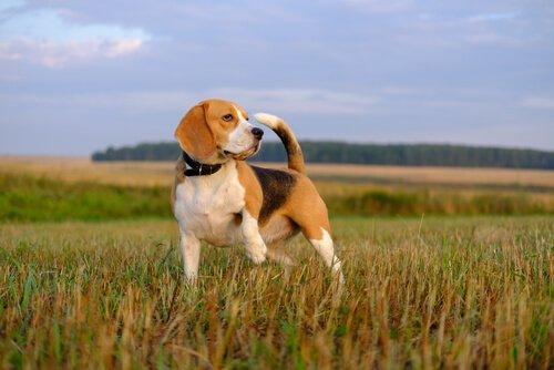 Curiosidade sobre os beagles