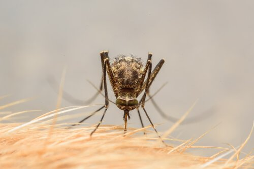 picadas de mosquitos em cães