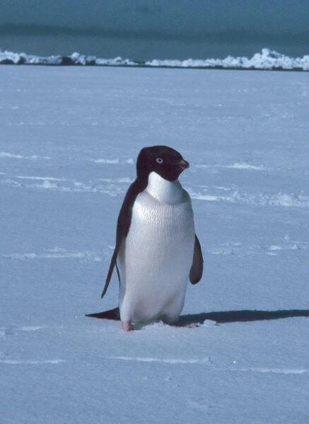 pinguim solitário