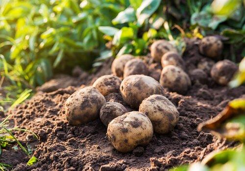 Principais pragas da agricultura na Espanha