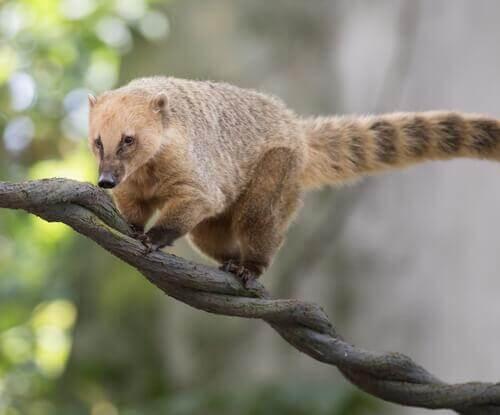 Tipos de quati, um mamífero muito simpático