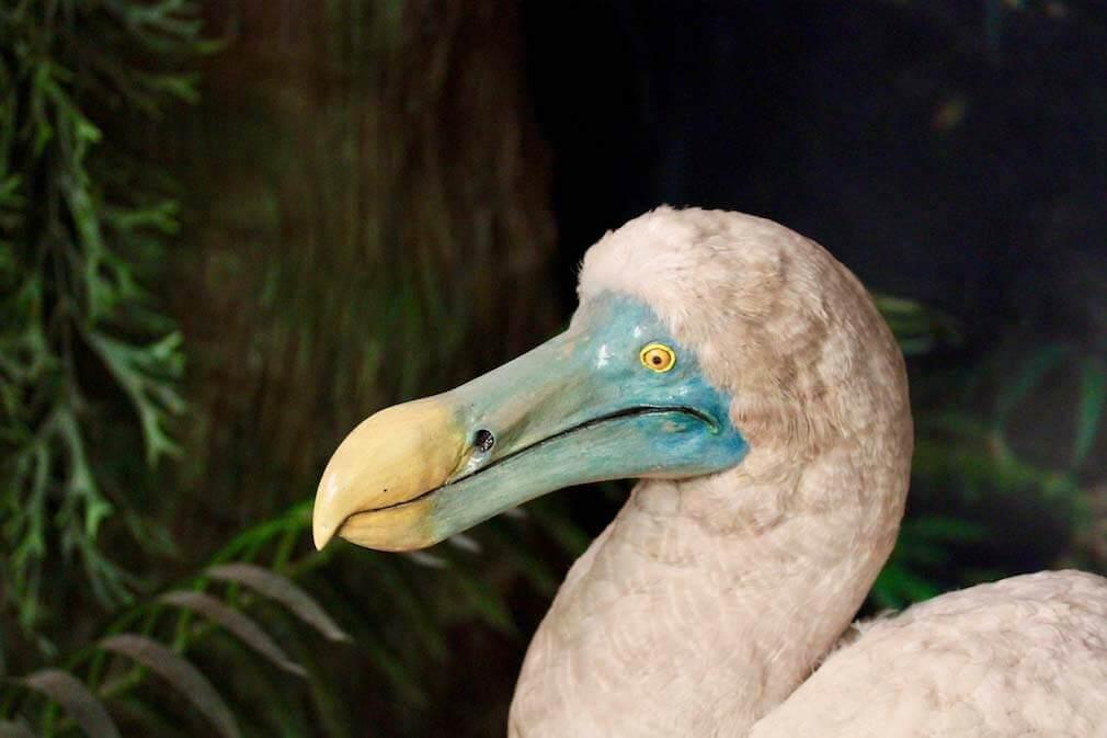 dodô ave