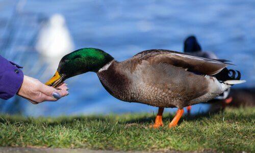 Pato comendo na mão da dona
