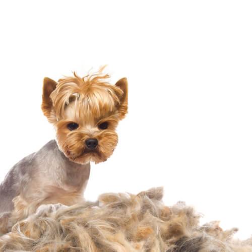 Perda de pelos em cães: causas e tratamento