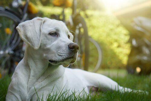 quimioterapia em cães