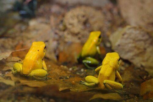 animais de cor amarela Rã-dardo-venenoso