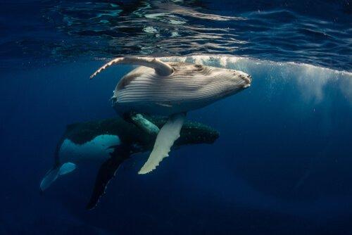 a baleia: características