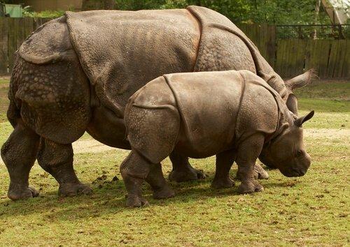 espécies de rinocerontes