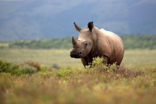 Rinoceronte na Namíbia