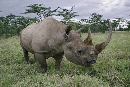 algumas espécies de rinocerontes