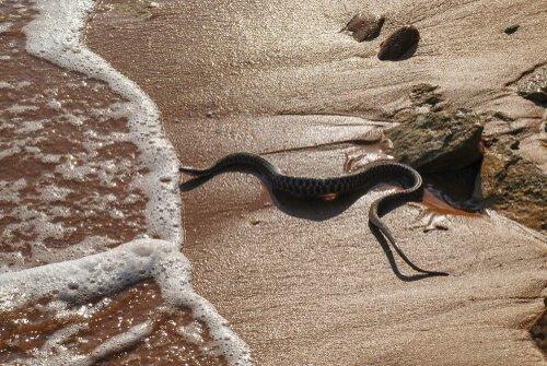 Cobra marinha de cabeça preta