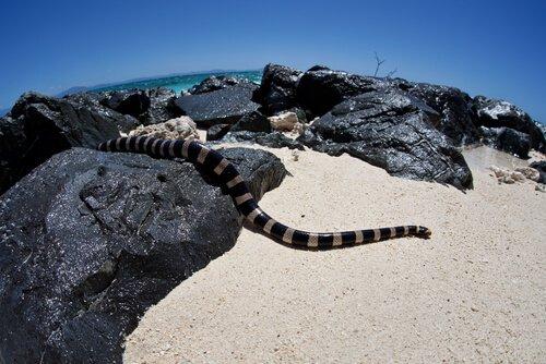 Cobra marinha de lábios azuis