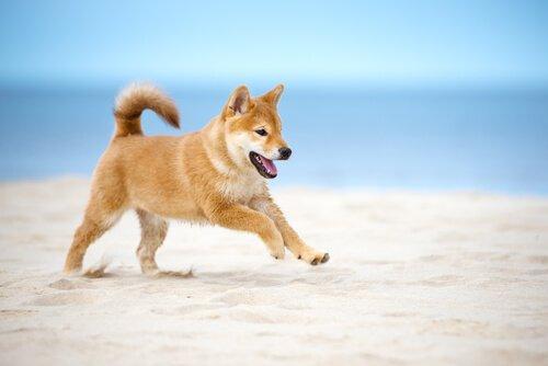 Shiba Inu correndo na praia