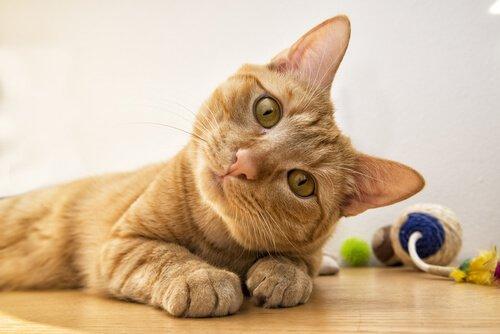 Algumas informações sobre surdez em gatos