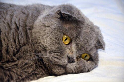 algumas informações sobre a surdez em gatos