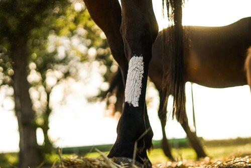 Cavalo com pata machucada