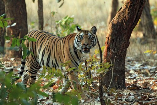 animais da Índia: o tigre de Bengala