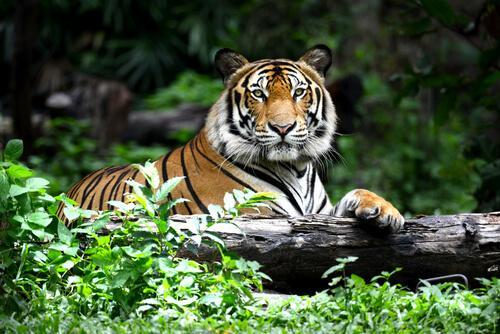 animais laranja: tigre