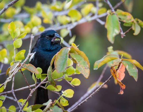 Chupim: você conhece esse lindo pássaro?