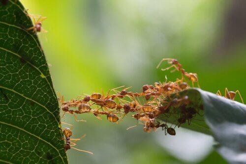 formigas criando uma ponte em folha