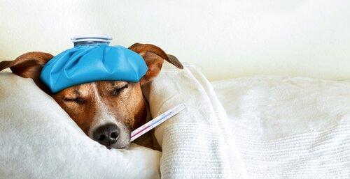 Cachorro com febre e termômetro