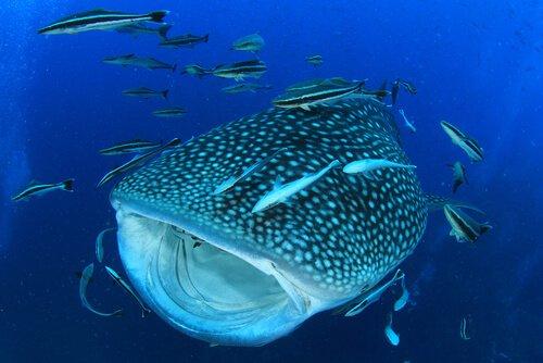 Tubarão-baleia com peixes ao redor