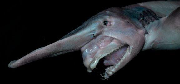 Tubarão-duende: habitat e características