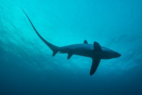 Alopias vulpinus, o tubarão-raposo