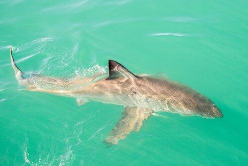 Tubarões de água doce: você conhece algum?
