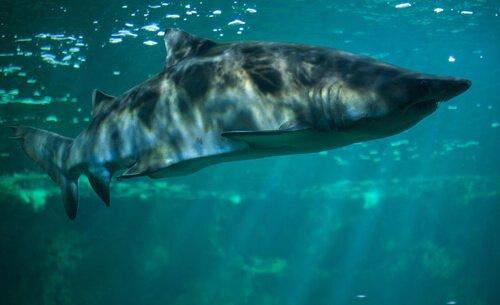 5 tubarões de água doce