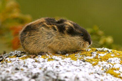 espécies de animais da Tundra