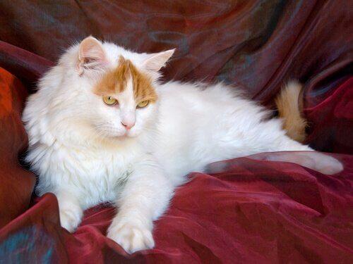 Um gato nadador: o Van Turco
