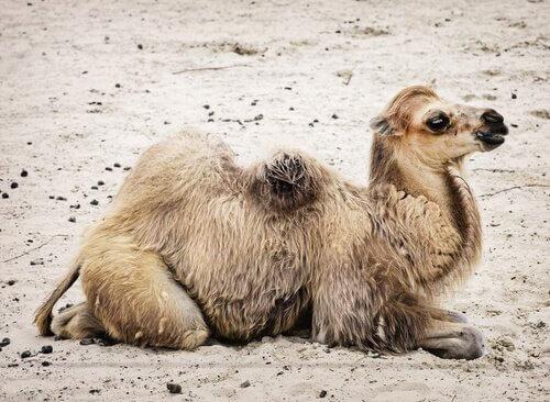 A fauna do deserto de Gobi