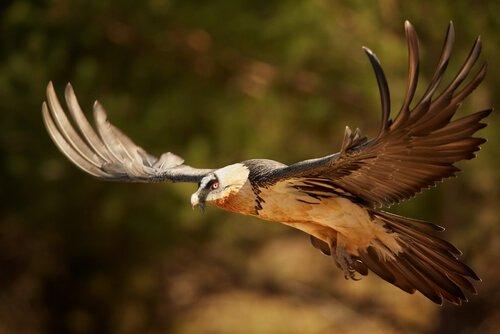 alimentação abutre barbudo
