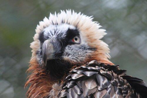 característica abutre barbudo
