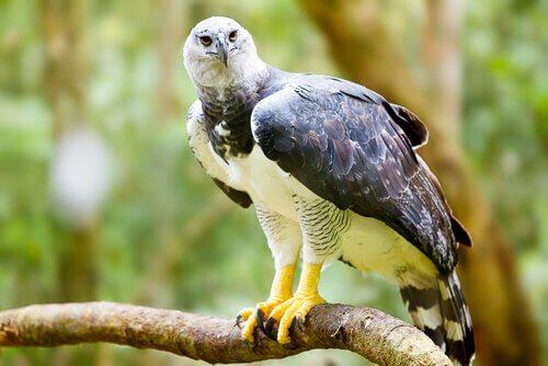 Harpia: uma das maiores aves que existem