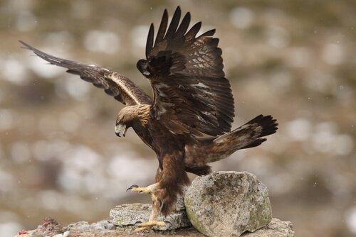 tipos de águias: a imperial ibérica