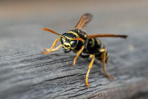 espécies de vespas