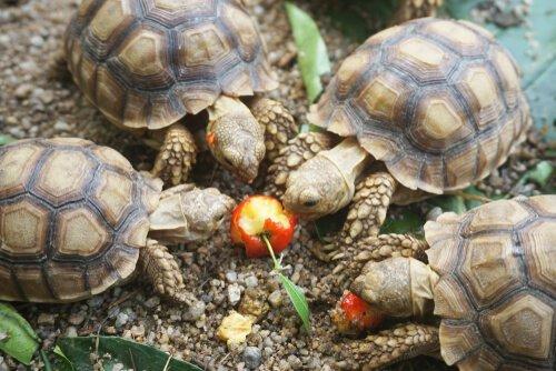 Tartarugas comendo ração