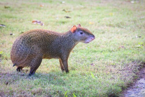 5 animais característicos da América Central