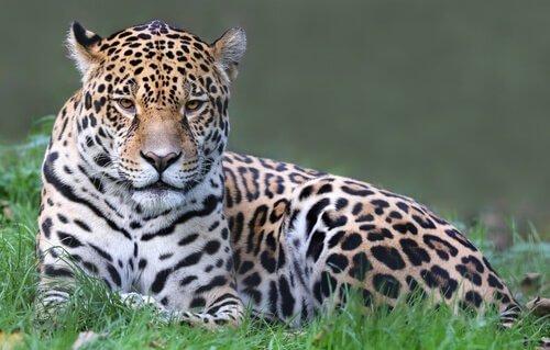 animais da América Central: onça-pintada