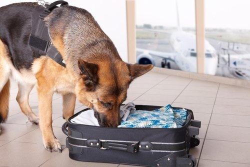 Cão policial farejando mala
