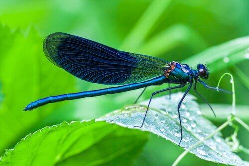 Animais que vivem em lagoas: libélulas