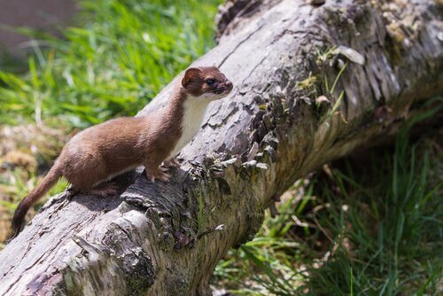 animais da taiga: doninha