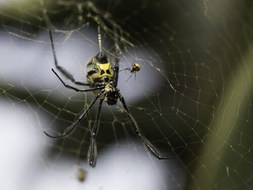 espécies que as fêmeas são maiores que machos